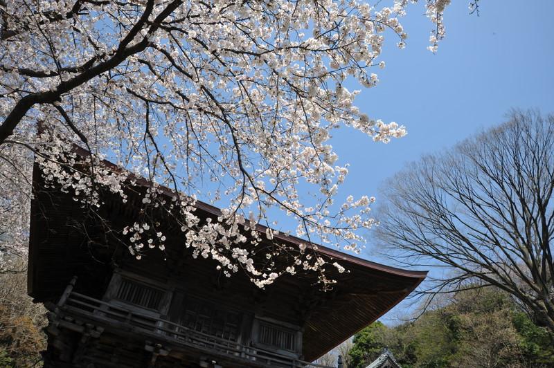 桜満開 (9)