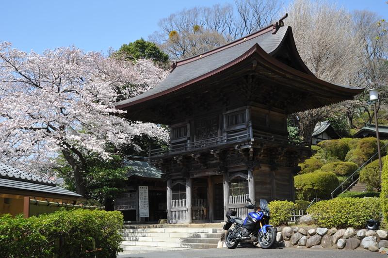 桜満開 (10)