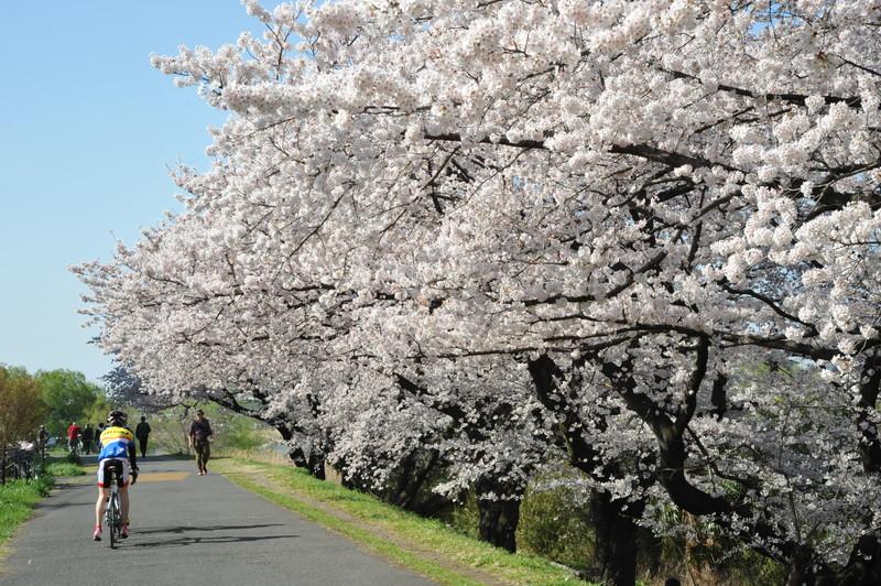 桜満開 (13)