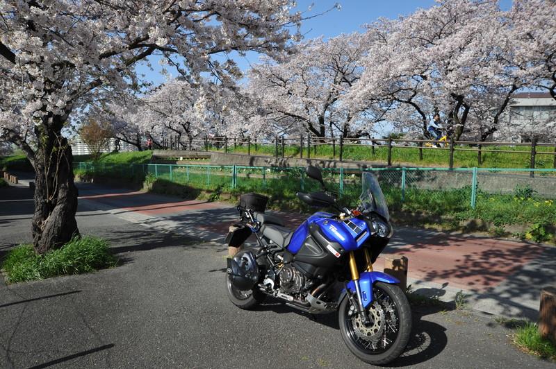 桜満開 (11)