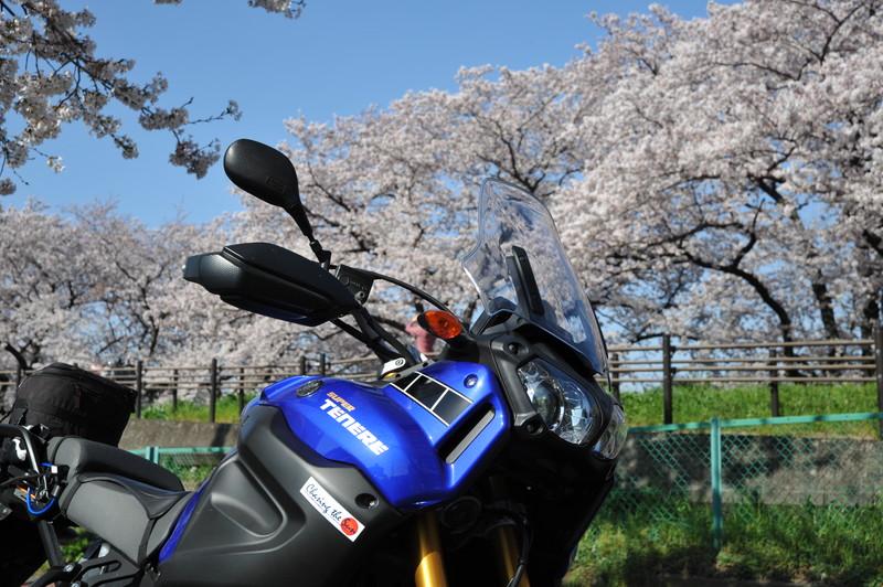 桜満開 (12)
