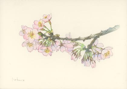 祖師谷公園桜