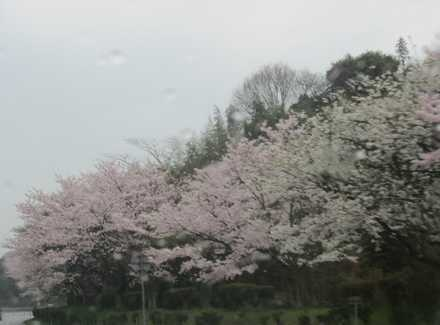 空港道路の桜1