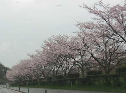 空港道路の桜2
