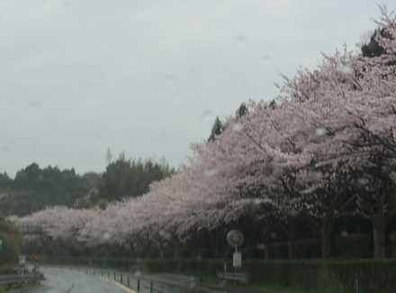 空港道路の桜3