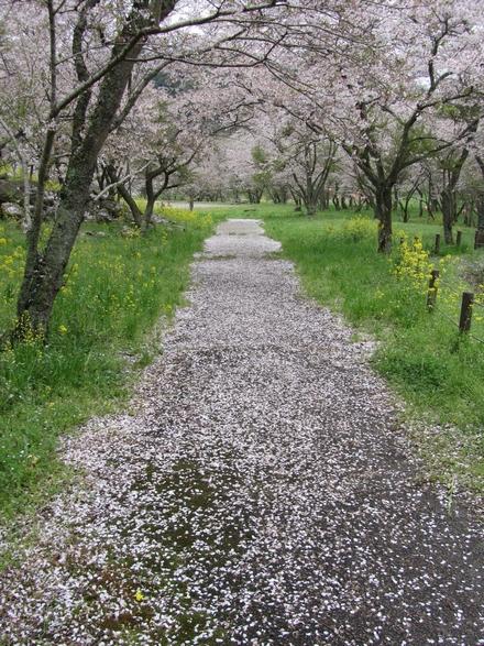 安岐ダムの桜 2