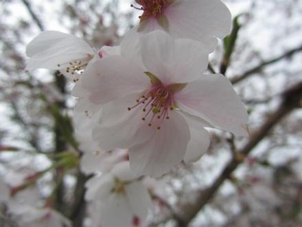 安岐ダムの桜 3