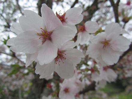 安岐ダムの桜 4