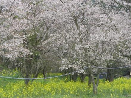 安岐ダムの桜 5