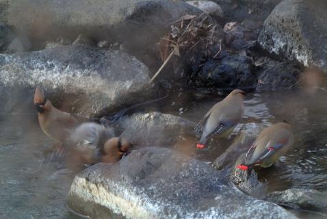 ヒレンジャク水浴び150125