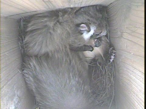 巣箱に逃げ込んだムサ150216