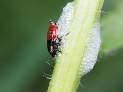シロオビアワフキ幼虫150611