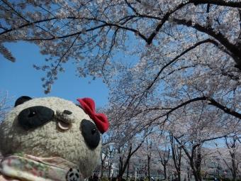 おばぶ桜を眺める
