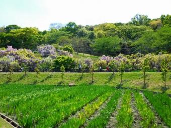 しょうぶ園と藤