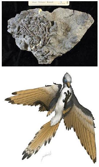 日本初の原始鳥類の全身化石