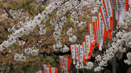 桜の開花タイミング