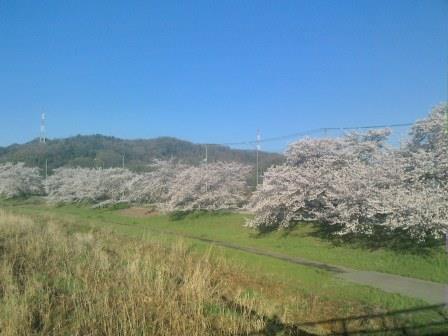 20150402児玉千本桜