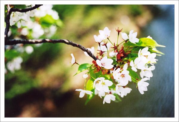 2006_0519_sakura.jpg