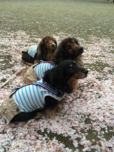20150404横から桜の上のデロ
