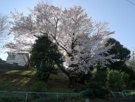 201504sakura1.jpg