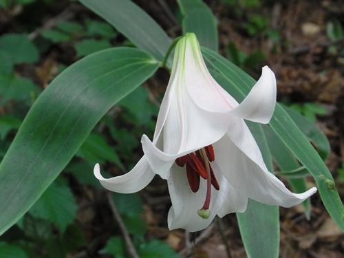 恐羅漢山の花004