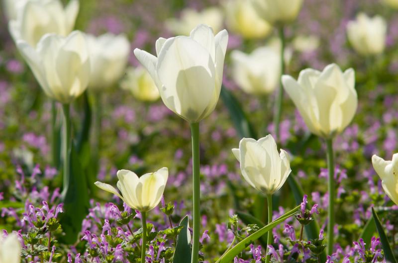 tulip_twitter.jpg