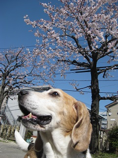 桜とスパイク1