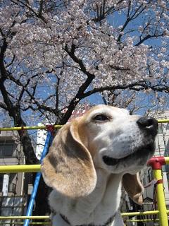 桜とスパイク2