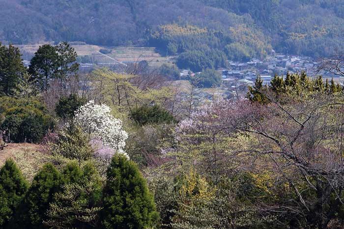 福貴畑の春1