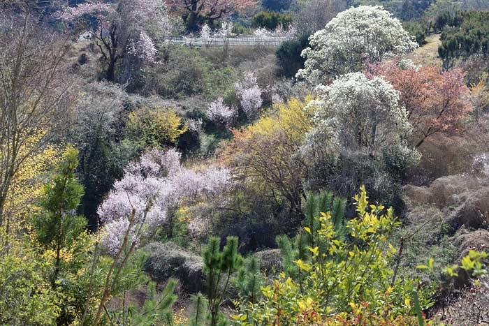 福貴畑の春3