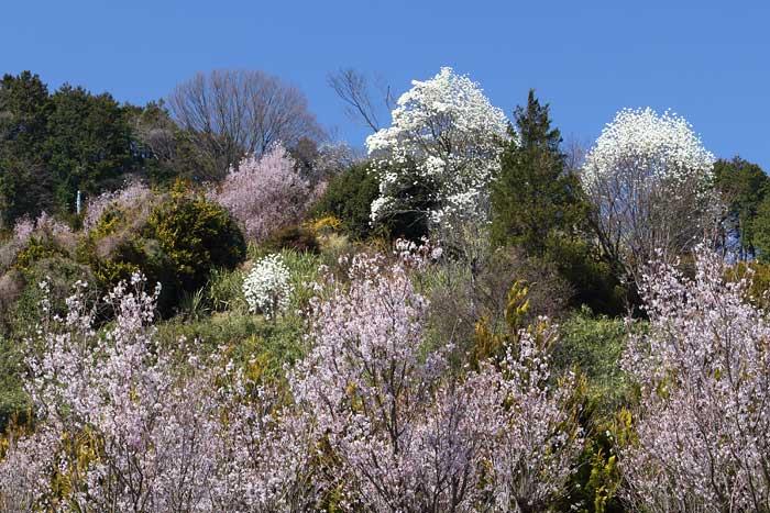 福貴畑の春4
