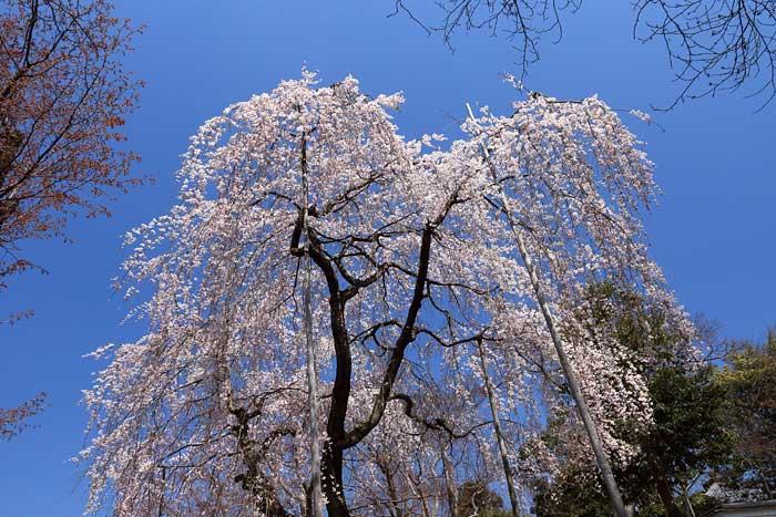 上之坊 枝垂桜3