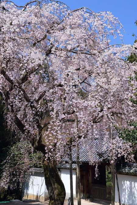 上之坊 枝垂桜2