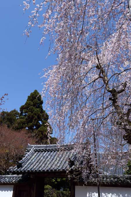上之坊 枝垂桜1