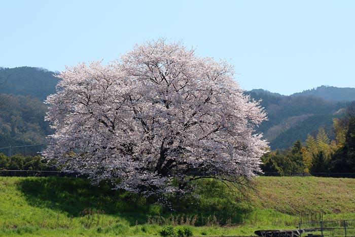 天理・幾坂池の桜2