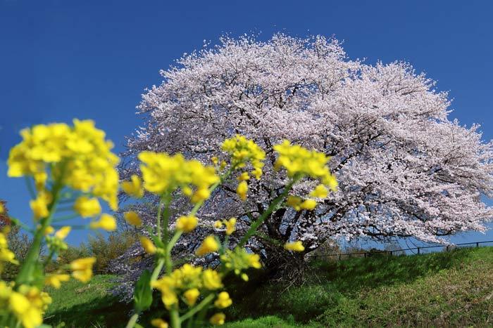 天理・幾坂池の桜3