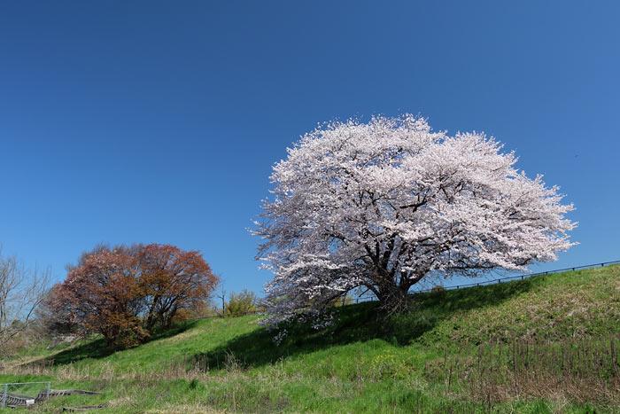天理・幾坂池の桜1