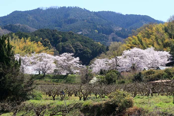 永久寺跡 桜1