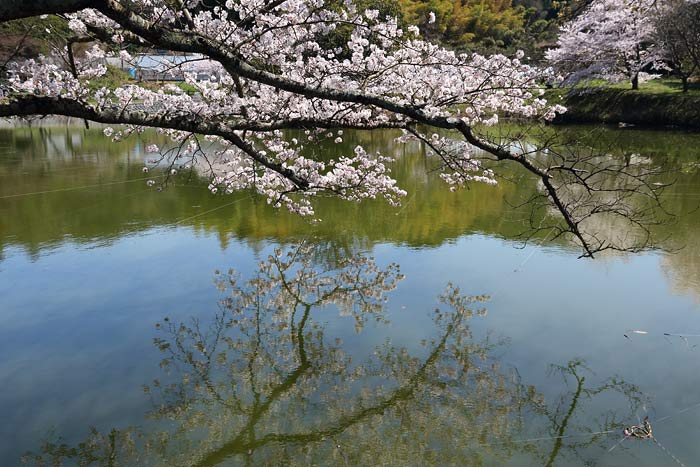 永久寺跡 桜3