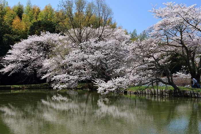 永久寺跡 桜2