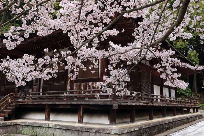 長弓寺 桜1