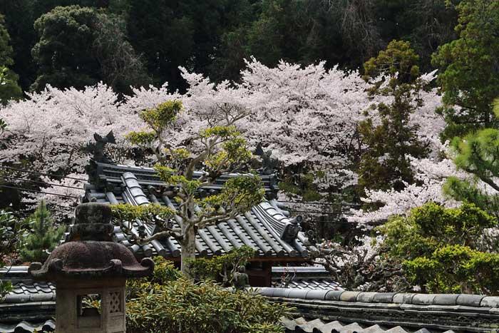 長弓寺 桜3