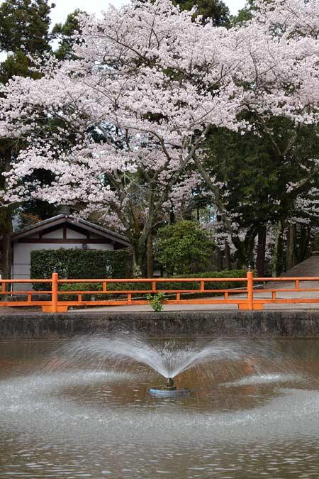 長弓寺 桜4