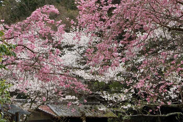 長弓寺 桜2