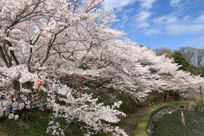 御嶽山大和本宮 桜1