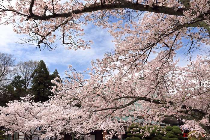 御嶽山大和本宮 桜3