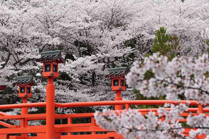 御嶽山大和本宮 桜2