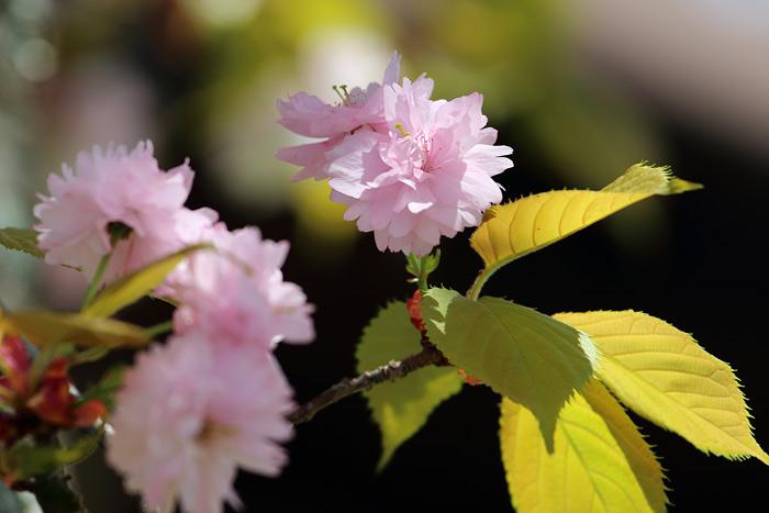 花便り ナラノヤエザクラ2