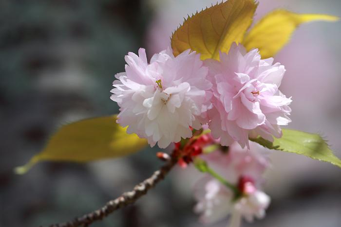 花便り ナラノヤエザクラ3
