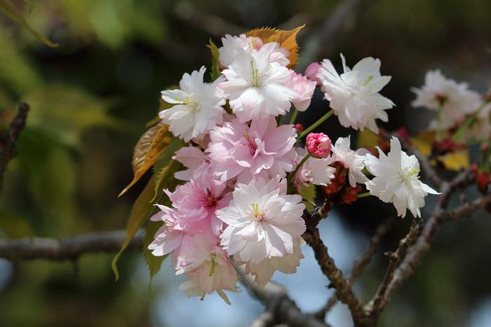 花便り ナラノヤエザクラ4